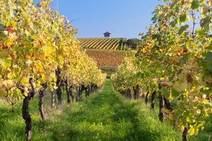 Cottage in vineyards in autumn, Uhlbach, Baden-Wurttembergの写真素材 [FYI03772009]