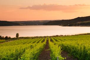 Vineyards at Lago di Corbara Lake at sunset, Perugia District, Umbriaの写真素材 [FYI03772011]