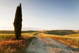 Tuscan landscape with cypress tree, near San Quirico, Val d'Orcia (Orcia Valley), Siena Province, Tuの写真素材 [FYI03772013]
