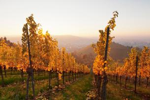 Vineyards in autumn at sunset, Stuttgart, Baden-Wurttembergの写真素材 [FYI03772248]