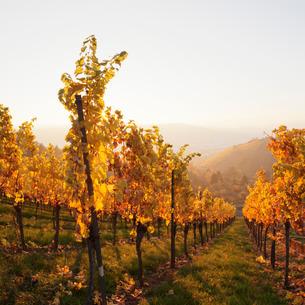 Vineyards in autumn at sunset, Stuttgart, Baden-Wurttembergの写真素材 [FYI03772249]
