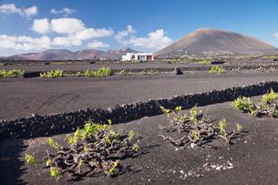 Finca, wine growing district La Geria, Lanzarote, Canary Islands, Atlanticの写真素材 [FYI03772258]