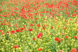 Field of wildflowers and poppies, Val d'Orcia, Province Siena, Tuscanyの写真素材 [FYI03772289]