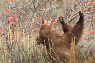 Cinnamon black bear (Ursus americanus) eats autumn (fall) berries, Grand Teton National Parkの写真素材 [FYI03772670]
