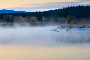 Wildfowl in flight over Snake River surrounded by a cold dawn mist in autumn (fall), Grand Teton Natの写真素材 [FYI03772677]