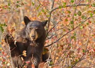 Cinnamon black bear (Ursus americanus) pauses from collecting autumn (fall) berries, Grand Teton Natの写真素材 [FYI03772686]