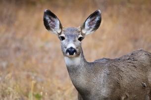 Alert mule deer (Odocoileus hemionus) stares at the camera, Grand Teton National Parkの写真素材 [FYI03772702]