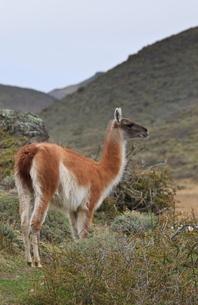 Alert guanaco (Lama guanicoe), Torres del Paine National Parkの写真素材 [FYI03772719]
