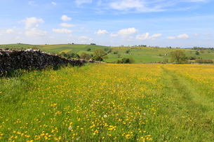Path through the buttercups and green hills, near Alstonefield, Peak District National Park, Stafforの写真素材 [FYI03772738]