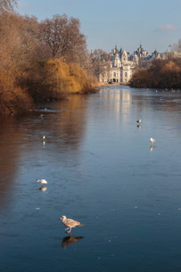 Sea birds (gulls) on ice covered frozen lake with Westminster backdrop in winter, St. James's Parkの写真素材 [FYI03772880]