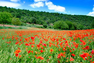 Poppy fields near Covarrubias, Castile and Leon Europeの写真素材 [FYI03773024]