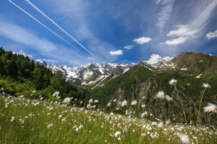Sunny day on cotton grass surrounded by green meadows, Orobie Alps, Arigna Valley, Sondrio, Valtelliの写真素材 [FYI03773042]