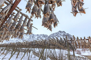 Codfish, the main product of the Lofoten Islands exposed to dry to the sun and air, Hamnoy, Lofotenの写真素材 [FYI03773234]