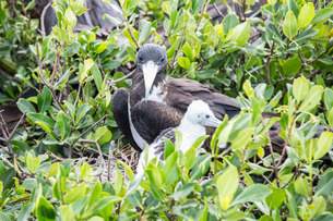 Mother and chick frigate bird resting on mangrove away from the dangers of the sky, Frigate Bird Sanの写真素材 [FYI03773251]