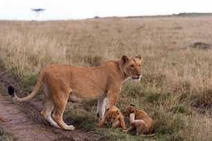 Lion (Panthera leo), Masai Maraの写真素材 [FYI03773501]