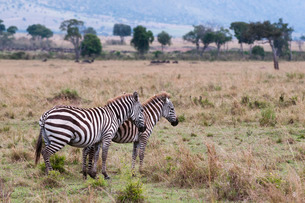 Plains zebra (Equus quagga), Masai Maraの写真素材 [FYI03773511]