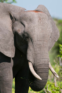 African elephant (Loxodonta africana), Chobe National Parkの写真素材 [FYI03773517]