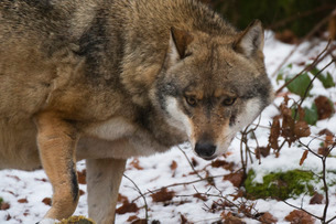 Gray wolf (Canis lupus), Bavarian Forest National Park, Bavariaの写真素材 [FYI03773566]