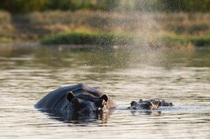 Hippopotamus (Hippopotamus amphibius), Khwai Concession, Okavango Deltaの写真素材 [FYI03773597]