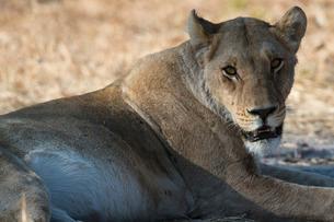 Lioness (Panthera leo), Khwai Concession, Okavango Deltaの写真素材 [FYI03773601]