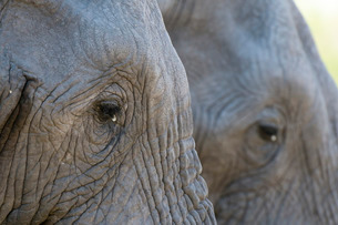Close-up of two African elephants (Loxodonta africana), Khwai Concession, Okavango Deltaの写真素材 [FYI03773603]