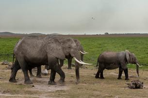 African elephants (Loxodonta africana), Amboseli National Parkの写真素材 [FYI03773624]