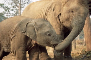 Captive Asian (Indian) elephantsの写真素材 [FYI03773633]
