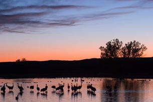 Sandhill Crane, (Grus canadensis), Bosque del Apache, Socorro, New Mexico, USAの写真素材 [FYI03773659]