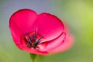 Scarlet Flax, (Linum grandiflorum rubrum), Bielefeld, Nordrhein Westfalenの写真素材 [FYI03773663]