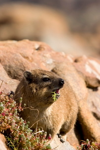 Rock Dassie, (Procavia capensis), Cape of the good hope, Capetownの写真素材 [FYI03773678]