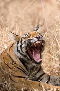 Bengal tiger, (Panthera tigris tigris), Bandhavgarh, Madhya Pradeshの写真素材 [FYI03773686]