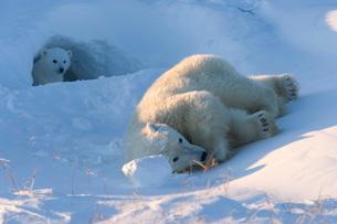 Polar Bear with cubs, (Ursus maritimus), Churchill, Manitoba, Canadaの写真素材 [FYI03773693]