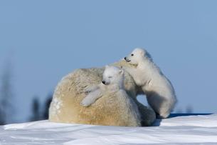 Polar Bear with cubs, (Ursus maritimus), Churchill, Manitoba, Canadaの写真素材 [FYI03773702]