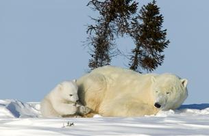 Polar Bear with a cub, (Ursus maritimus), Churchill, Manitoba, Canadaの写真素材 [FYI03773703]