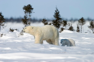 Polar Bear with a cub, (Ursus maritimus), Churchill, Manitoba, Canadaの写真素材 [FYI03773705]