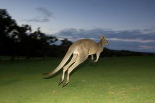 Eastern Grey Kangaroo, (Macropus giganteus), Anglesea, Great Ocean Road, Victoriaの写真素材 [FYI03773713]