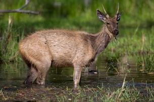 Sambar Deer, (Cervus unicolor), Bandhavgarh N.P., Madhya Pradeshの写真素材 [FYI03773718]