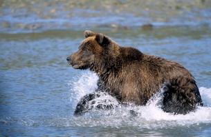 Brown Bear, (Ursus arctos), Lake Clark National Park, Alaska, USAの写真素材 [FYI03773723]
