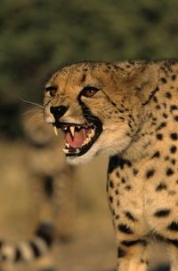 Cheetah, (Acinonyx jubatus), Duesternbrook Private Game Reserve, Windhoek, Namibiaの写真素材 [FYI03773726]