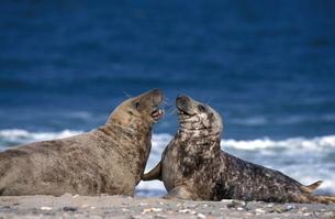 Gray Seal, (Halichoerus grypus), Helgoland, Schleswig-Holsteinの写真素材 [FYI03773738]