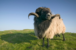 Domestic sheep, Heligolandの写真素材 [FYI03773743]