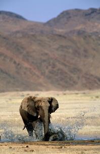 Desert-dwelling Elephant, (Loxodonta africana africana), Dry River, Hoanib, Kaokoland, Namibiaの写真素材 [FYI03773746]