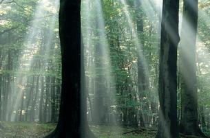 Sun's rays penetrating the forest, Bielefeld, North Rhine-Westphaliaの写真素材 [FYI03773756]