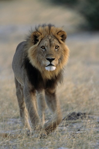 Lion (Panthera leo), Chobe National Park, Savutiの写真素材 [FYI03773759]