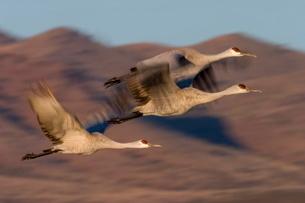 Sandhill Cranes, Grus canadensis, Socorro, Bosque del Apache, New Mexico'の写真素材 [FYI03773791]