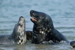 Gray seals (grey seals), Halichoerus grypus, Heligolandの写真素材 [FYI03773795]