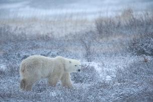 Polar bear, Ursus maritimus, Churchill, Manitobaの写真素材 [FYI03773810]