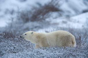 Polar bear, Ursus maritimus, Churchill, Manitobaの写真素材 [FYI03773812]