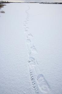 Polar bear track, Churchill, Manitobaの写真素材 [FYI03773816]