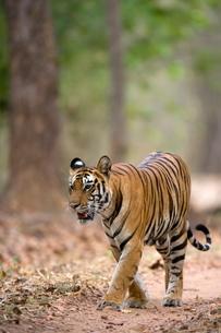 Female Indian tiger (Bengal tiger) (Panthera tigris tigris), Bandhavgarh National Park, Madhya Pradeの写真素材 [FYI03773821]